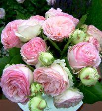 Gorgeous Eden Climbing Rose
