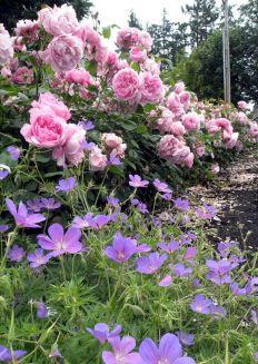 Red Eden Climbing Rose in Garden