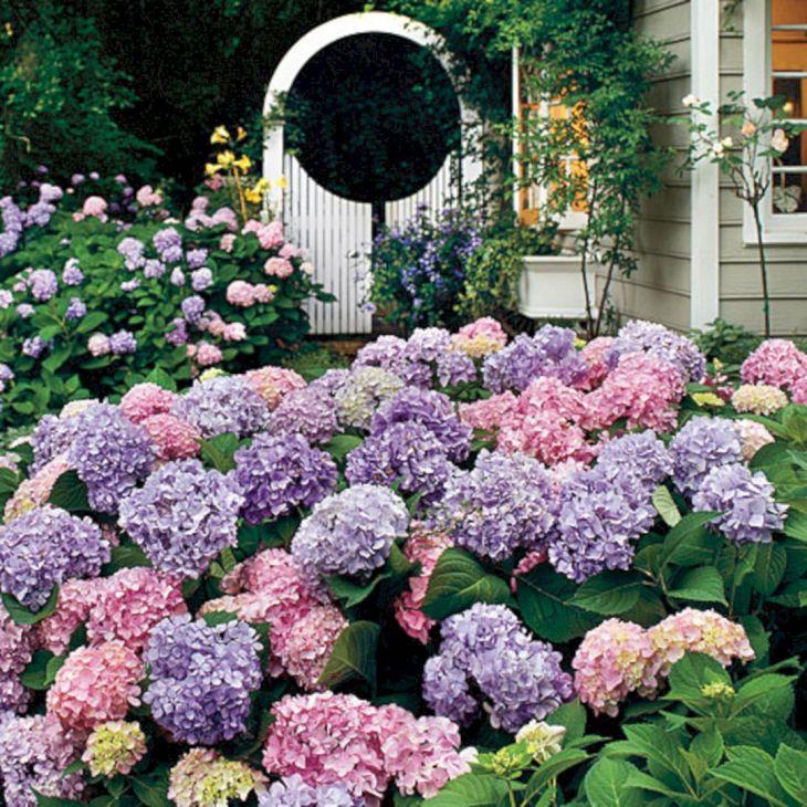 Hydrangea Plants Flower