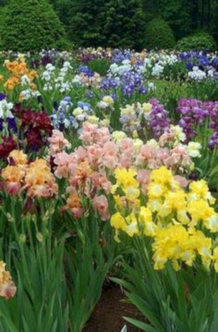 Beautiful Iris Garden Ideas 20