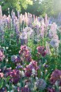 Beautiful Iris Garden Ideas 28
