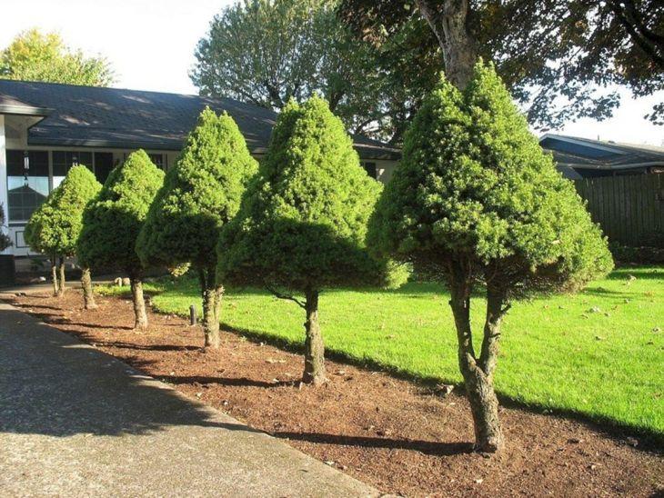 Front Yard Garden With Dwarf Pine Tree