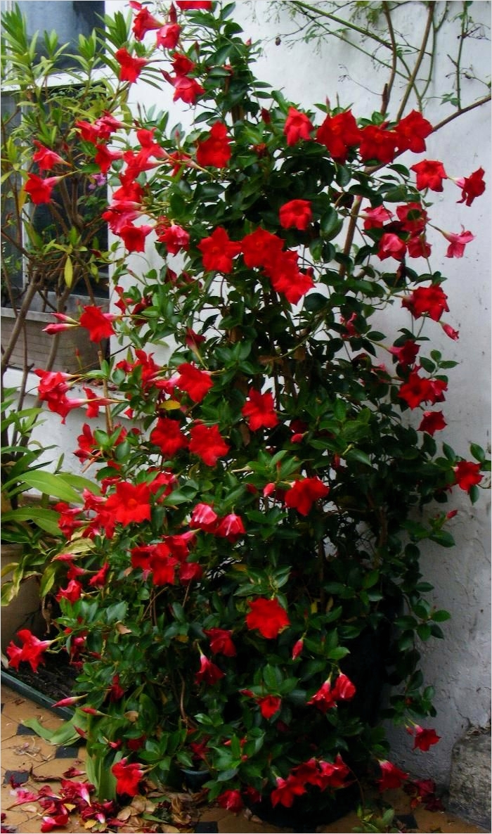 40 Best and Beautiful Climbing Flowers for Fences 44 Mandevilla Vines and Plants On Picture for whole Plant Picture 6