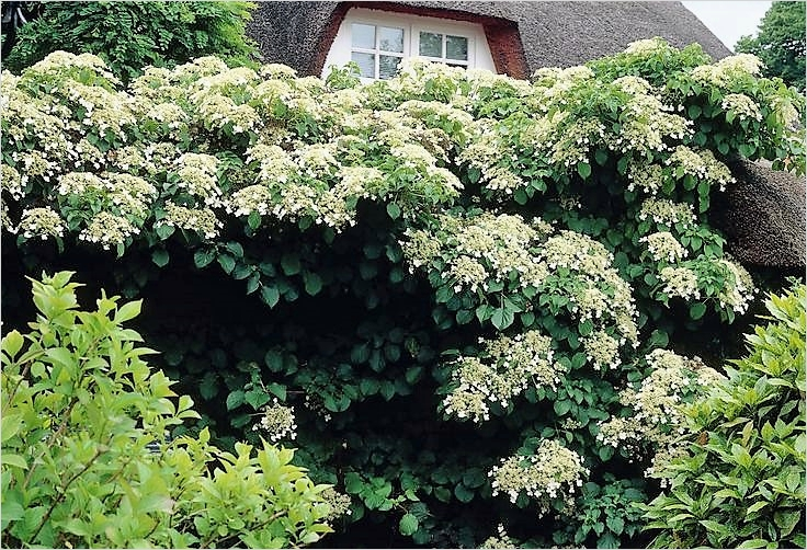 40 Best and Beautiful Climbing Flowers for Fences 28 Climbing Plants for Shaded Walls and Fences the Garden Of Eaden 6