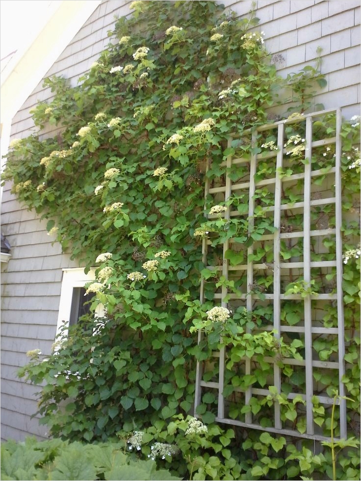 40 Best and Beautiful Climbing Flowers for Fences 31 11 Best Images About Vines On Pinterest 3