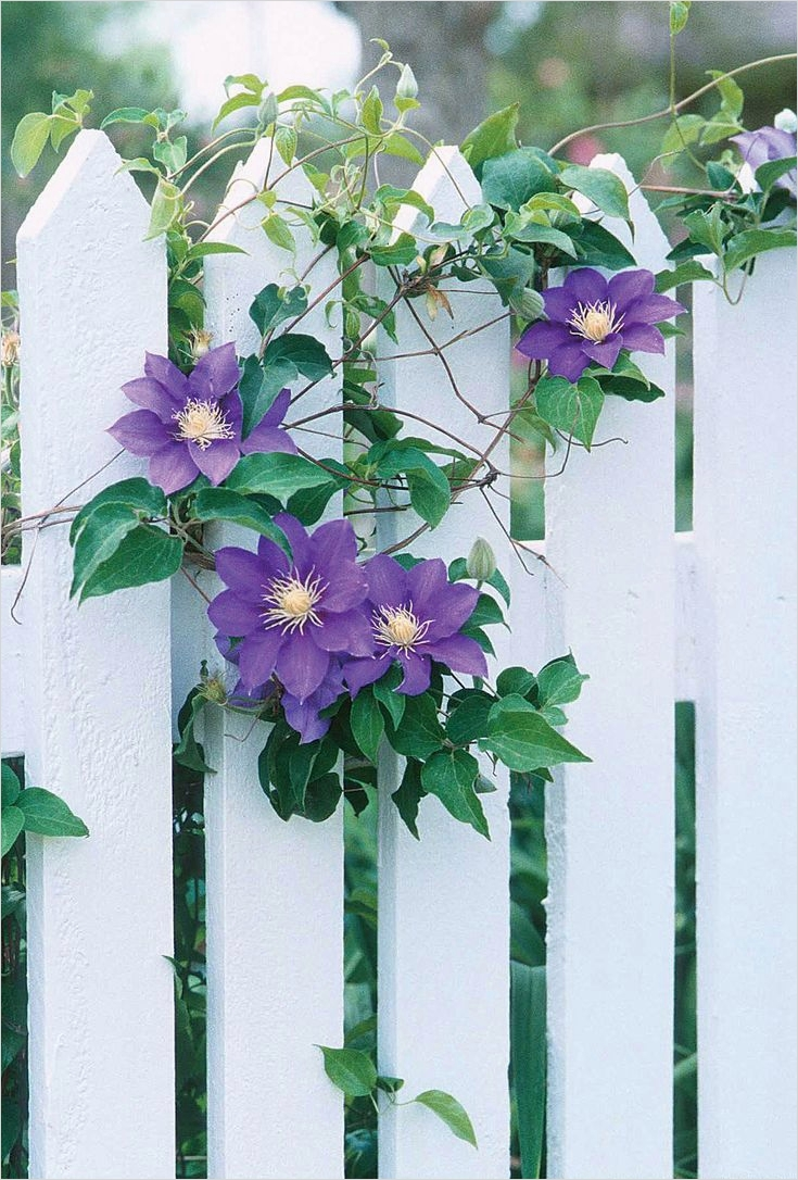 40 Best and Beautiful Climbing Flowers for Fences 18 379 Best Images About Flowering Fences On Pinterest 8