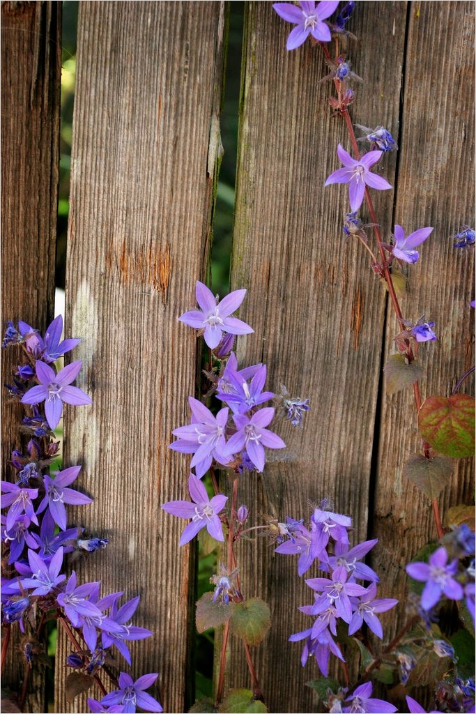 40 Best and Beautiful Climbing Flowers for Fences 41 1000 Images About Flowering Fences On Pinterest 9