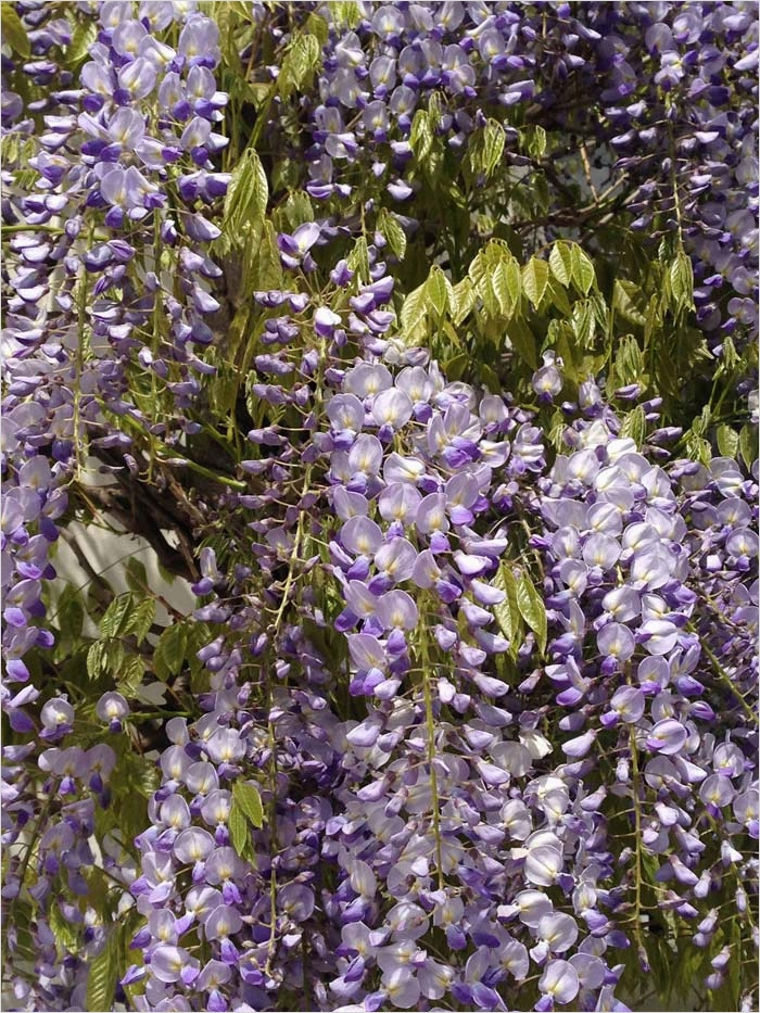 40 Best and Beautiful Climbing Flowers for Fences 49 Urban Garden Climbers Climbing Plants for Walls & Fences 9