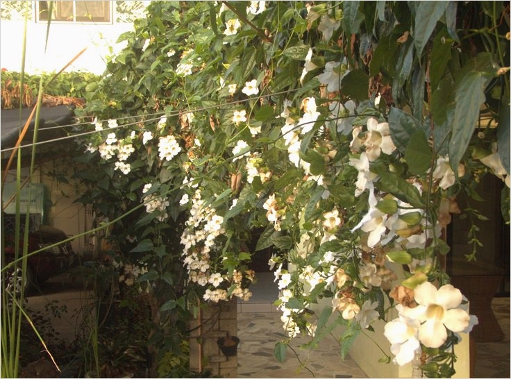 40 Best and Beautiful Climbing Flowers for Fences 21 top 10 Beautiful Climbing Plants for Fences and Walls 7
