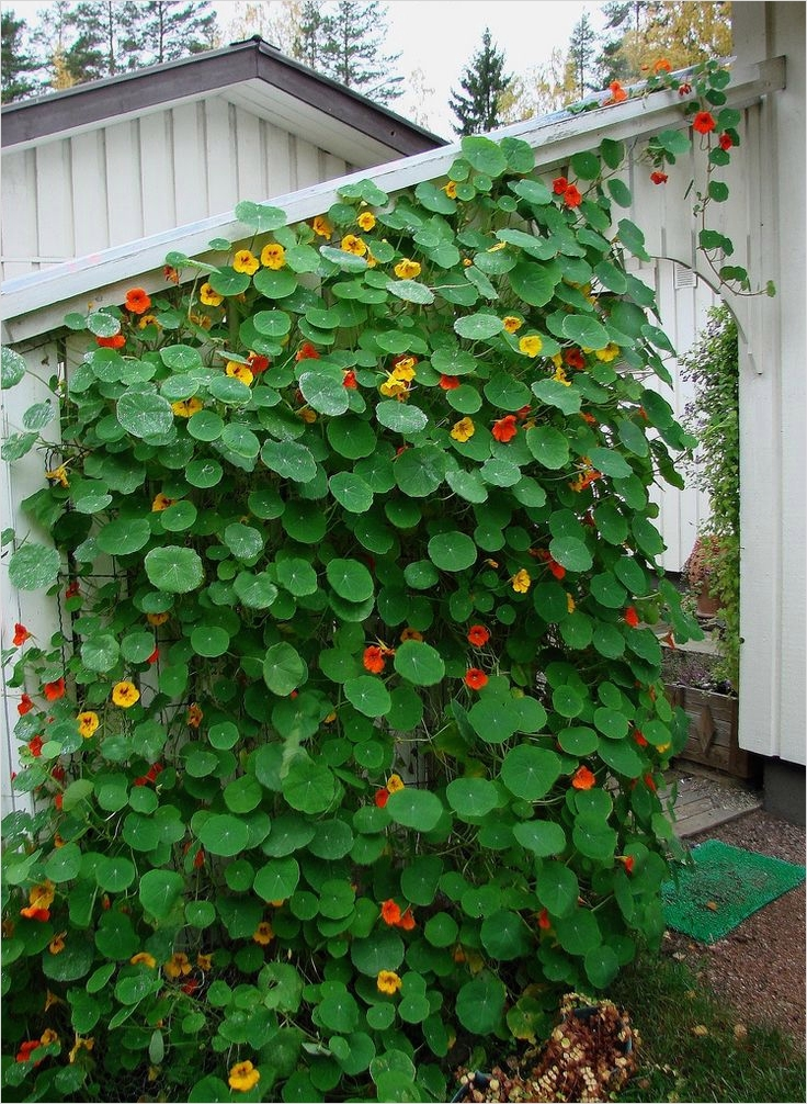 40 Best and Beautiful Climbing Flowers for Fences 33 362 Best Images About Garden Ideas for My House In Oyarifa Ghana On Pinterest 9