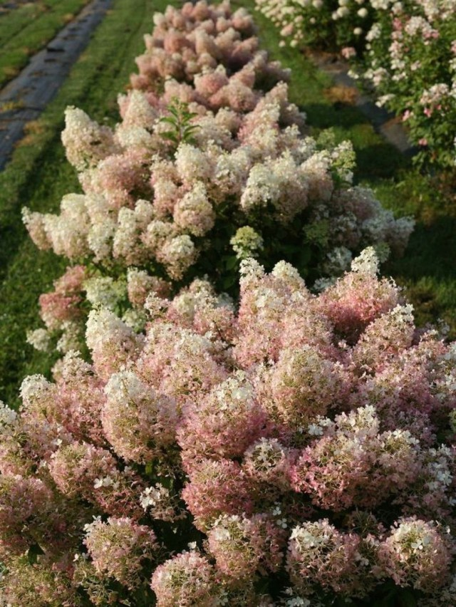 Inspiring Hydrangeas Landscaping Design Ideas To Copy Right Now 21