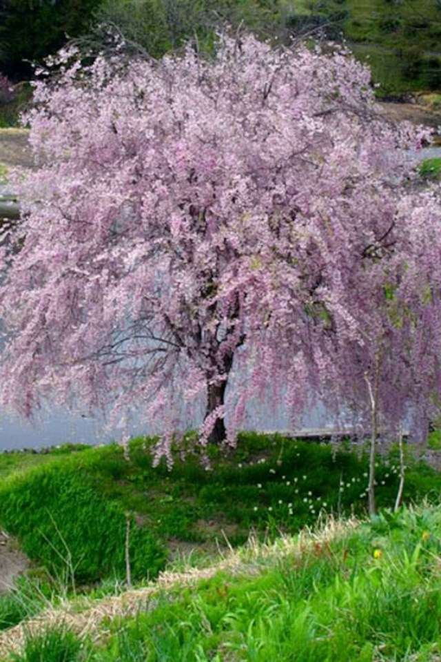 Lovely Flowering Tree Ideas For Home Yard To Copy Now 04