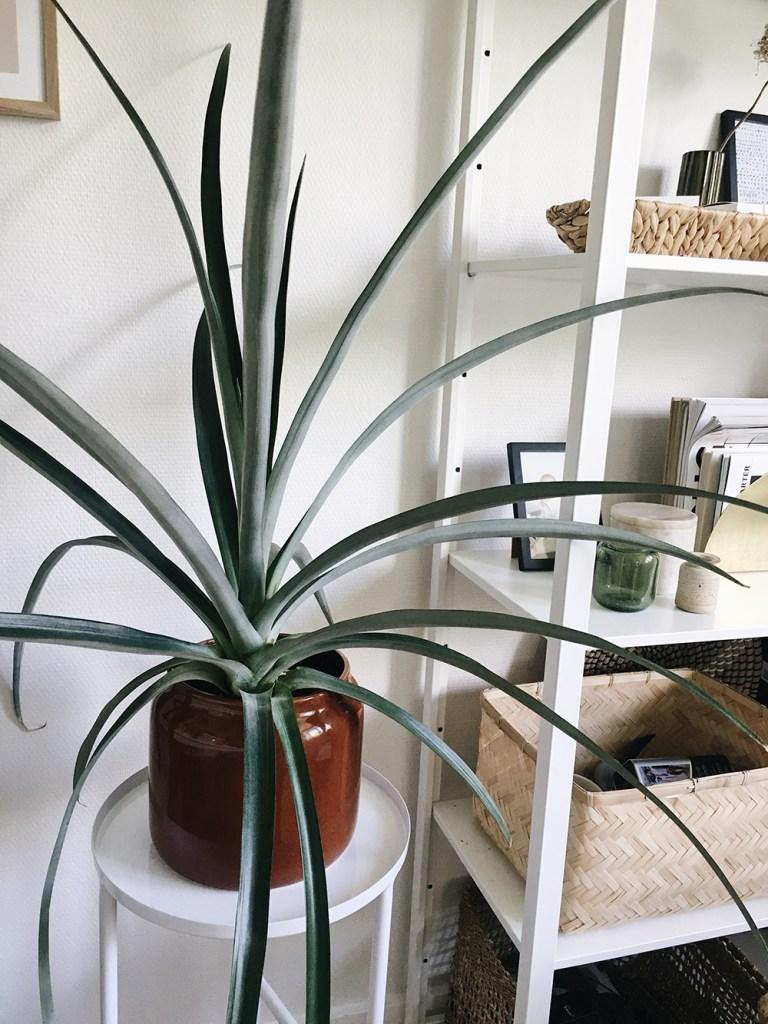 Ananasplante