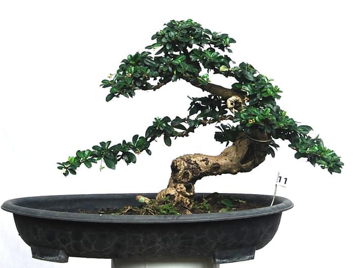 jenis-tanaman-bonsai-hokianti