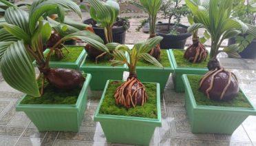 gambar bonsai kelapa