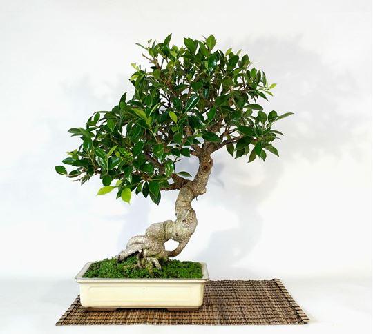 jenis-tanaman-bonsai-preh