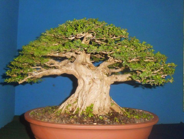 jenis-tanaman-bonsai-sancang