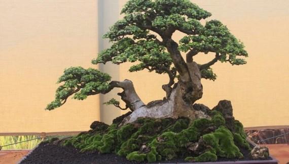cara-membuat-bonsai-serut