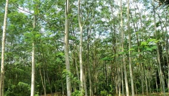 gambar-pohon-albasia