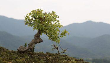 jenis-tanaman-bonsai