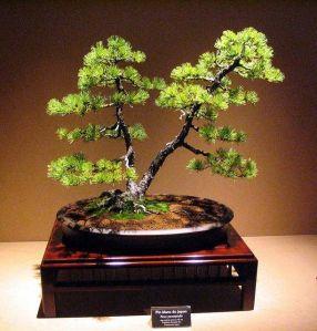 mengenal bentuk bonsai