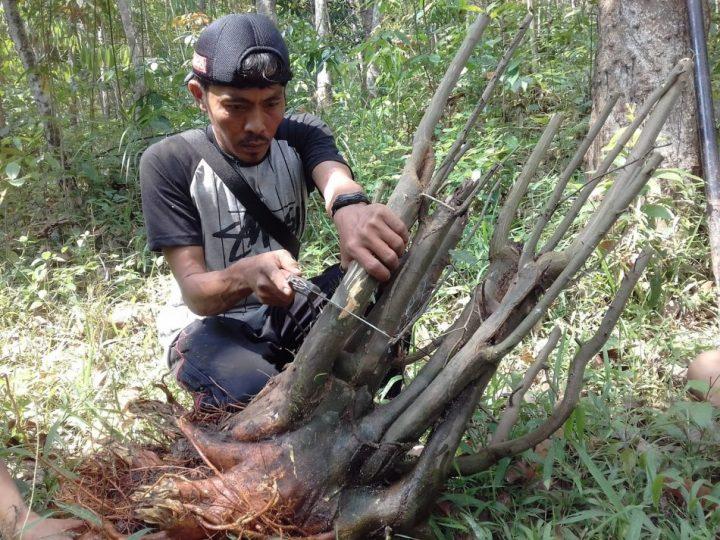 pohon kaliage di hutan