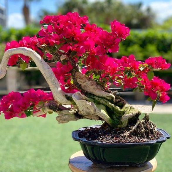 9 Rahasia Cara Membuat Bonsai Bunga Kertas Bugenvil Terampuh