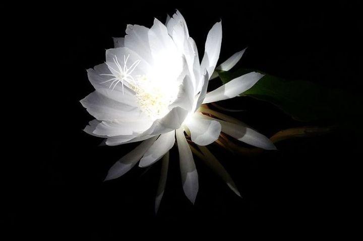 mitos-bunga-wijaya-kusuma