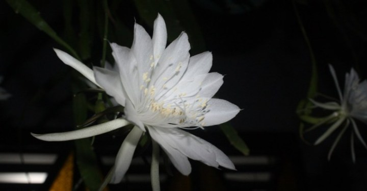 fakta-wijaya-kusuma