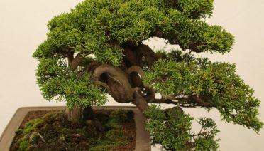 gambar gaya bonsai