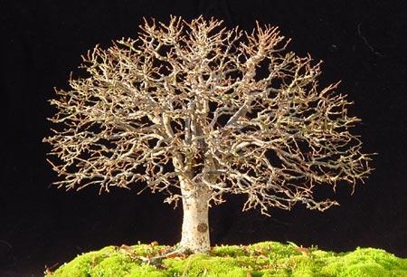 bonsai gaya sapu (hokidachi)