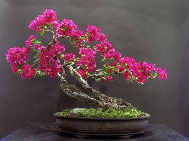 bentuk bonsai bougenville