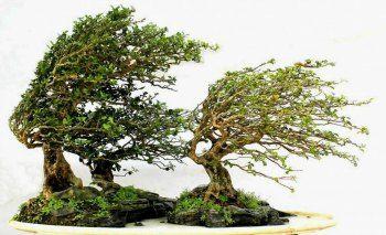 Windswept Style (gaya bonsai)