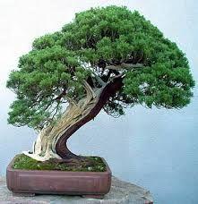 shakan style bonsai (miring)