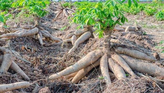cara menanam singkong