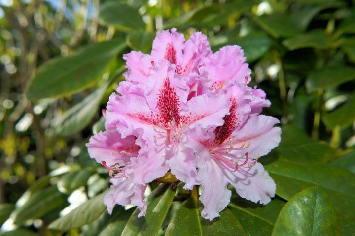 nama bunga Rhododendron