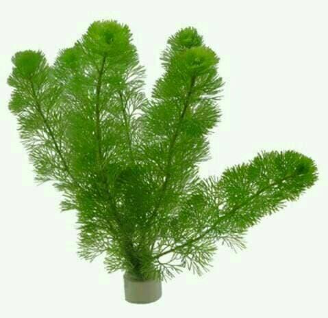 Cambomba Caroliniana (jenis tanaman aquascape)