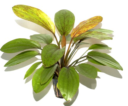 Aquascape Echinodorus Rose