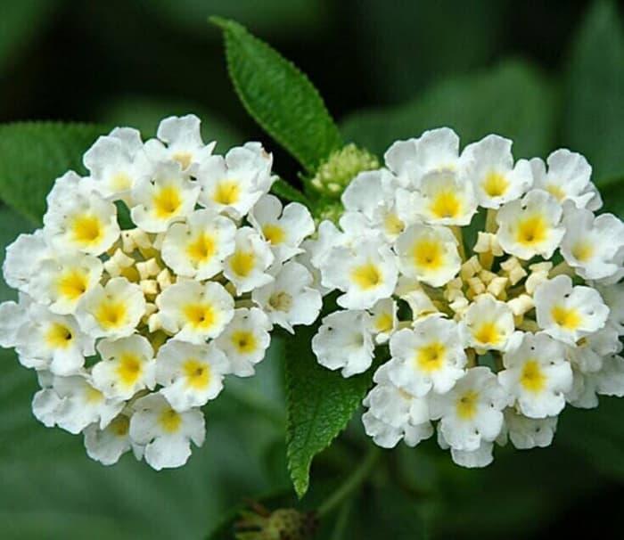 nama bunga lantana