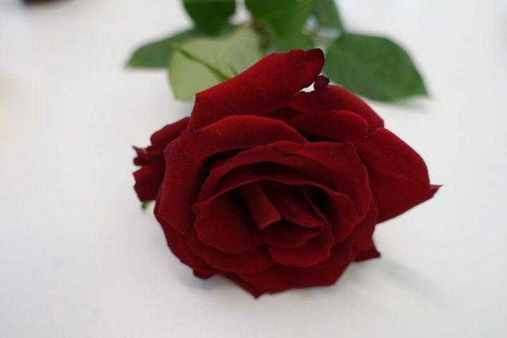 gambar bunga mawar merah darah