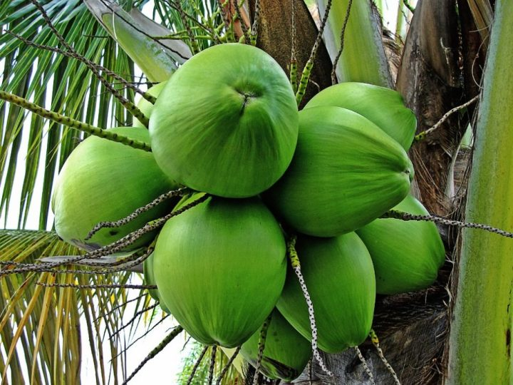 foto buah kelapa
