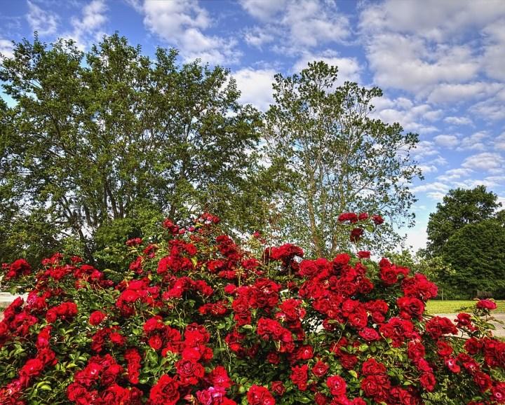 kebun bunga mawar merah