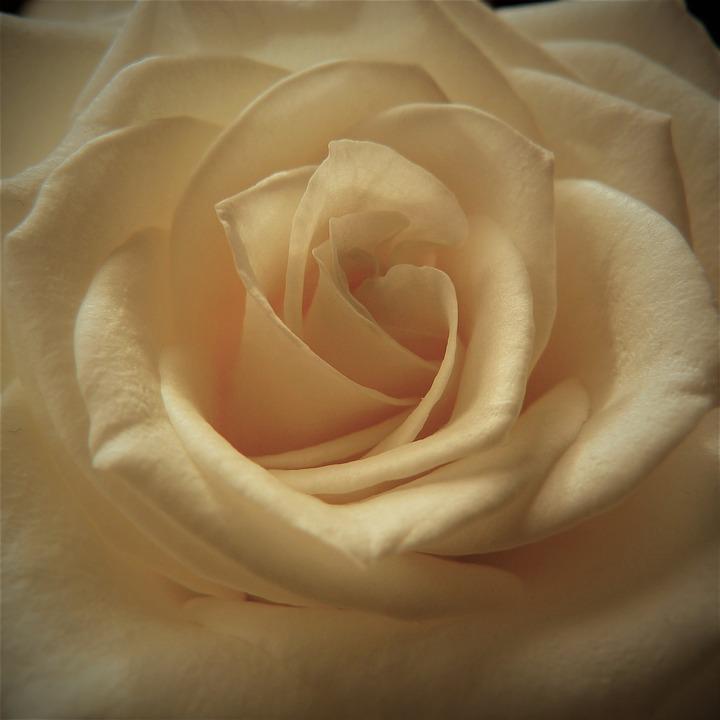 bunga mawar cream