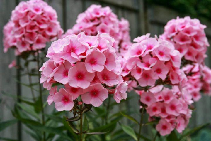 bunga phlox