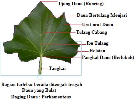 struktur morfologi daun (anatomi)