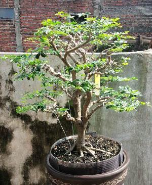 Bonsai-Jeruk-Kingkit.jpg