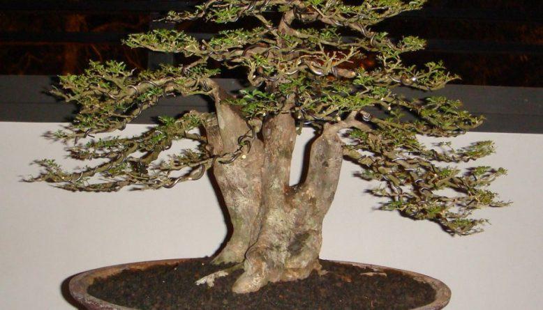 bonsai jeruk kingkit