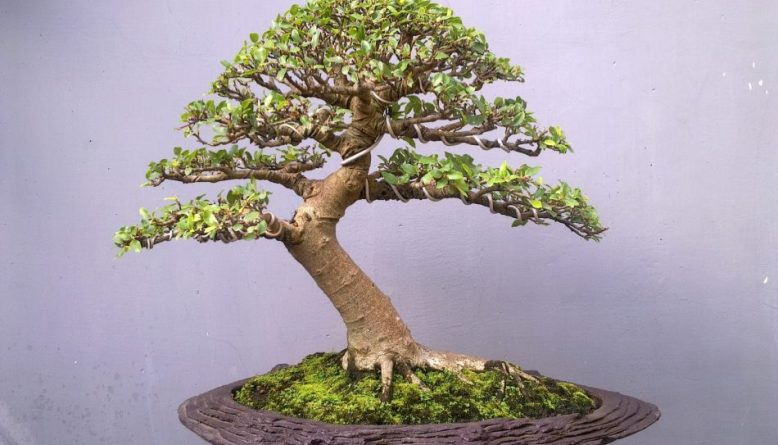 bonsai loa