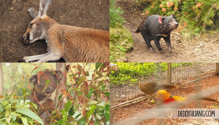 cavernsham wildlife park koala - 9 Tempat Traveling Seru Musim Panas Sambil Kuliner Enak di Perth