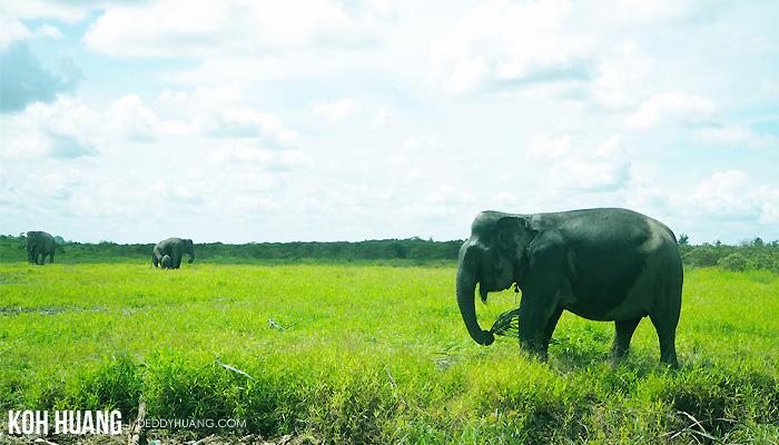 gajah makan - Suaka Margasatwa Padang Sugihan, Potret Eksistensi Gajah Sumatera